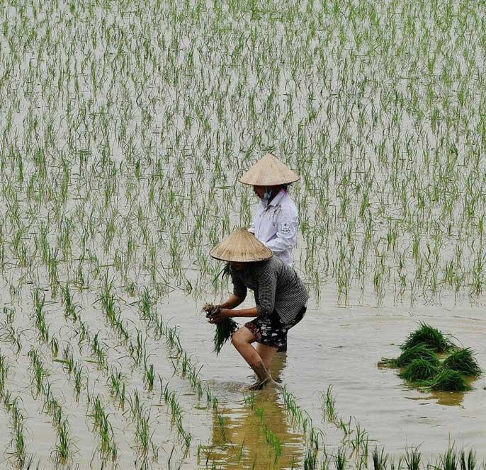 riziere-proche-baie-halong-vietnam